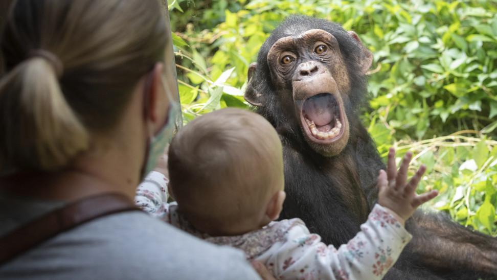Καταπληκτικό εύρημα για το πως αντιμετωπίζουν τη φιλία οι χιμπατζήδες, διδάσκει τον άνθρωπο