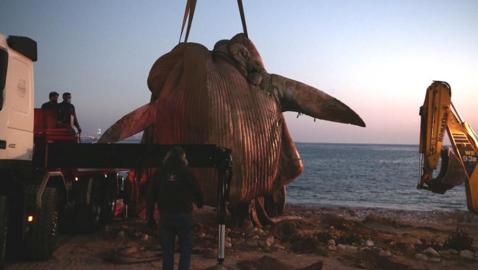 Παρέμβαση της WWF για την νεκρή φάλαινα στον Πειραιά